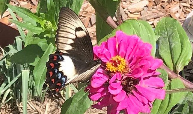 Swallowtail butterfly on zinnia